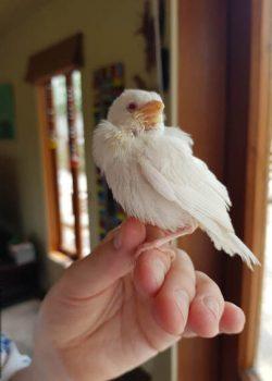 white-sparrow